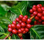 Oromia Coffee Farmers Cooperative Union Job Vacancy